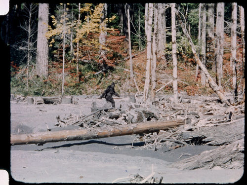 A still image from film of a creature running through the woods who appears to look like Bigfoot.