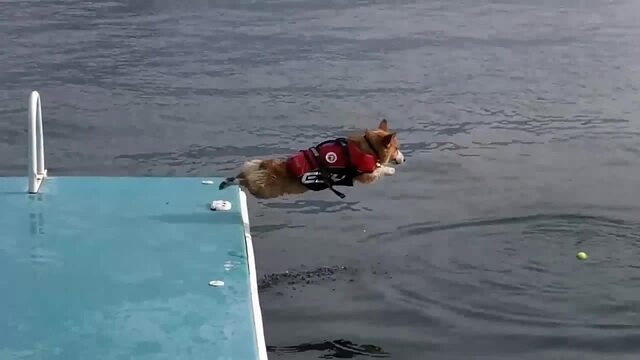 A corgi leaps from a floating dock in pursuit of a tennis ball
