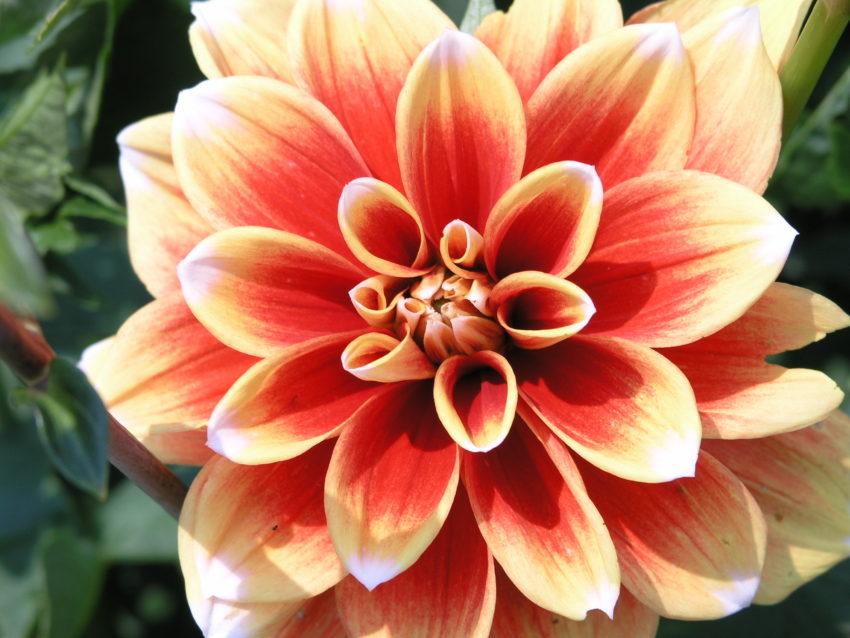 Close-up of a dahlia