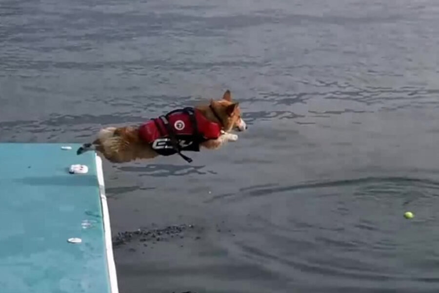 Corgi jumping from floating dock into water after a tennis ball with great abandon