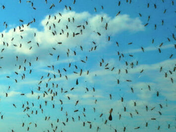 Midges and a blue sky with clouds