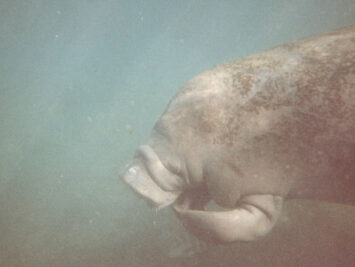 A manatee swimming. Dennis Matheson / Creative Commons.