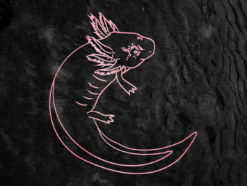 Graphic of an axolotl. Illustration by Laura Padilla Castellanos.