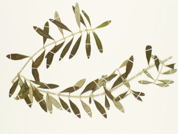 Image: Olive. From The Smithsonian.