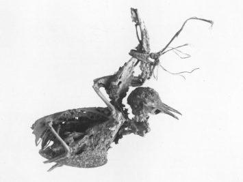 A bird skeleton