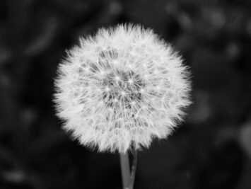 Dandelion seeds attached to stem.