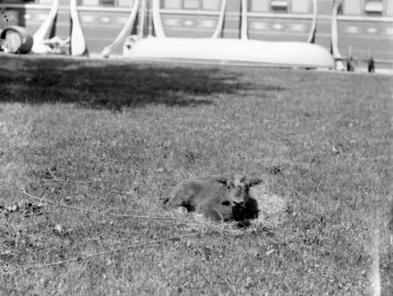 Bison Calf in the South Yard, United States National Museum Photographic Laboratory, circa 1887. Smithsonian.