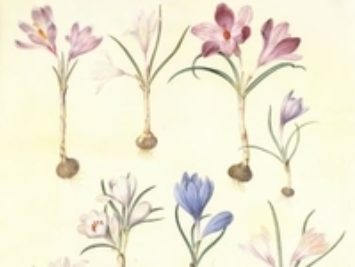 A drawing of crocuses.