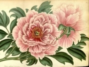 A painting of a peony.