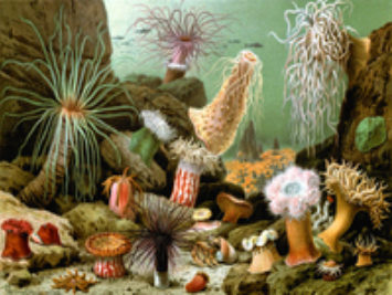 Painting of sea anemones. Various sea anemones by Giacomo Merculiano, 1893.