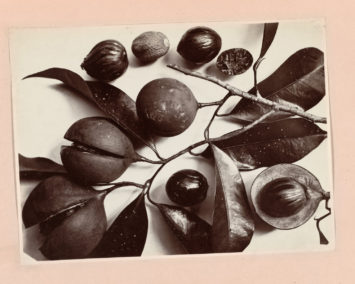Black and white image of nuts emerging from their casing. C. Dietrich. Courtesy Rijksmuseum, Amsterdam.